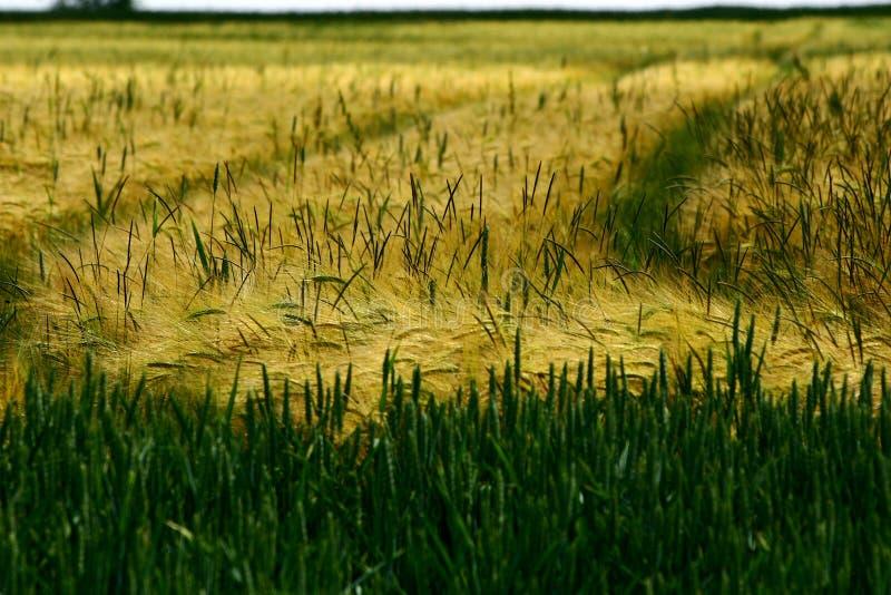 Campo de milho #1 imagens de stock royalty free