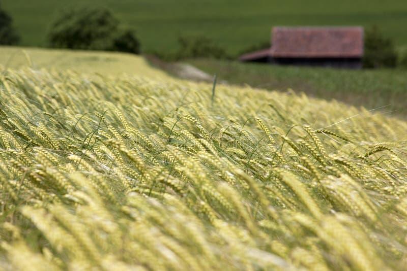 Download Campo de milho foto de stock. Imagem de pão, rendimento - 10062940