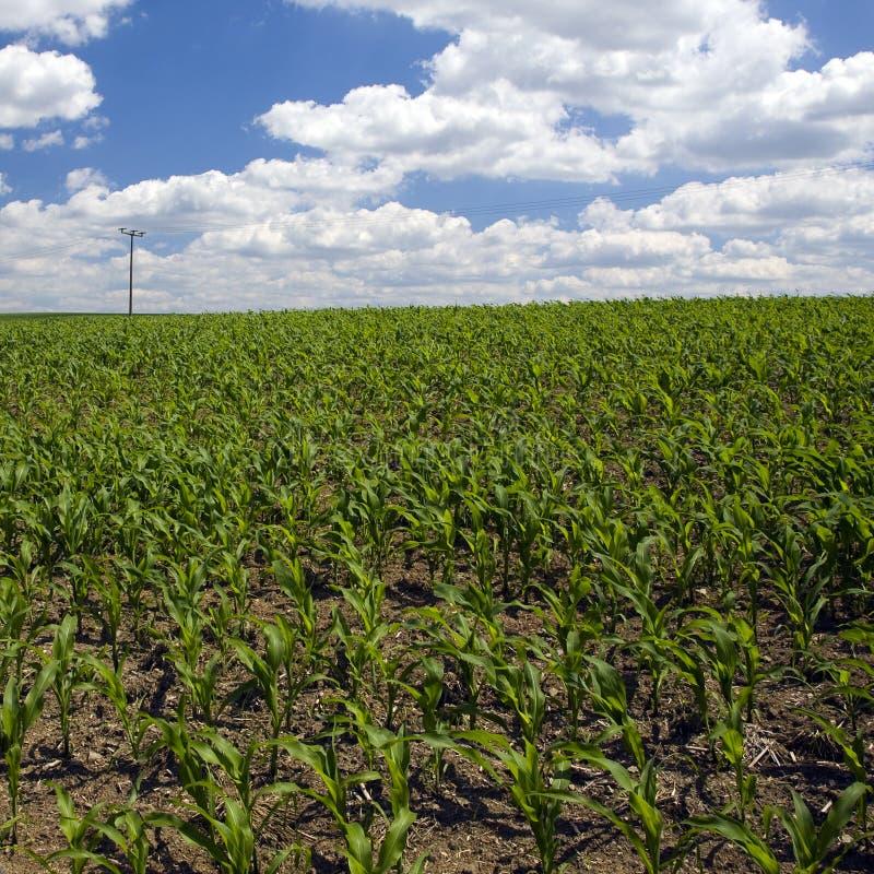 Campo de milho adiantado da mola fotografia de stock
