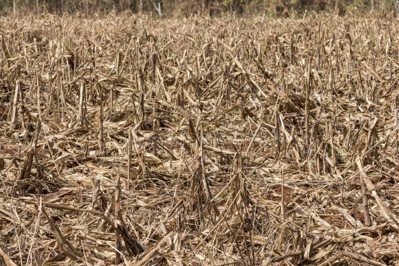 Campo de milho afetado pela seca fotografia de stock
