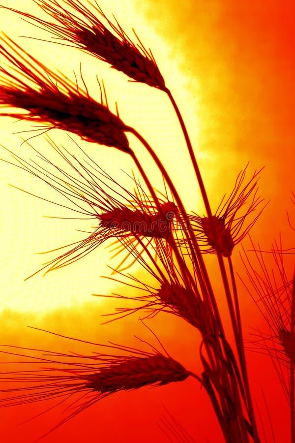 Campo de milho com cevada antes do por do sol imagens de stock