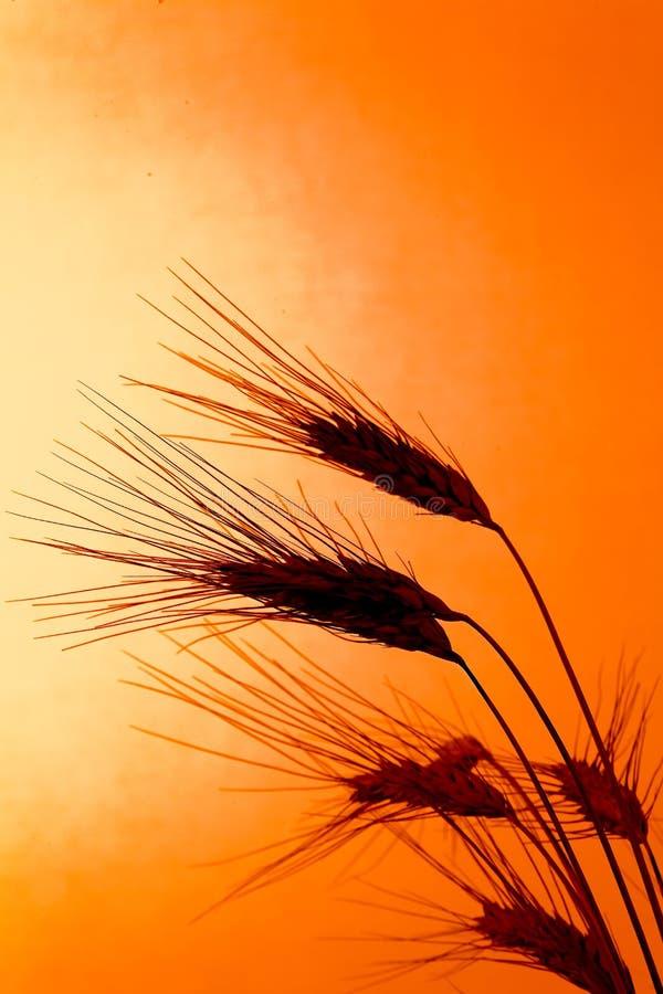 Campo de milho com cevada antes do por do sol imagens de stock royalty free
