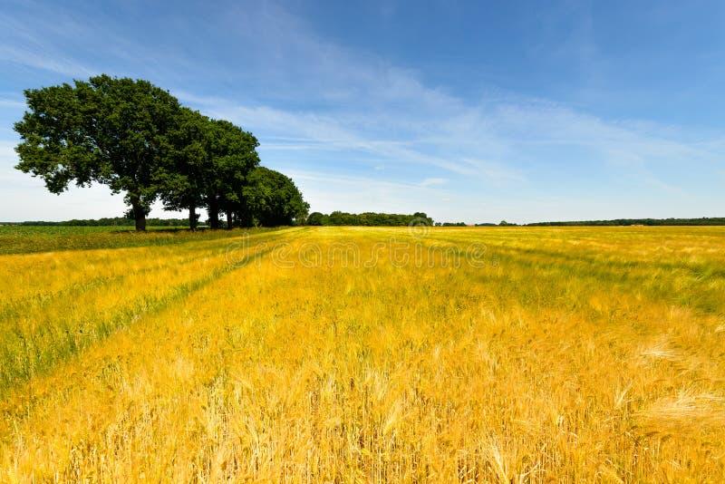 Campo de milho com fileira da árvore, o céu azul e as nuvens fotografia de stock