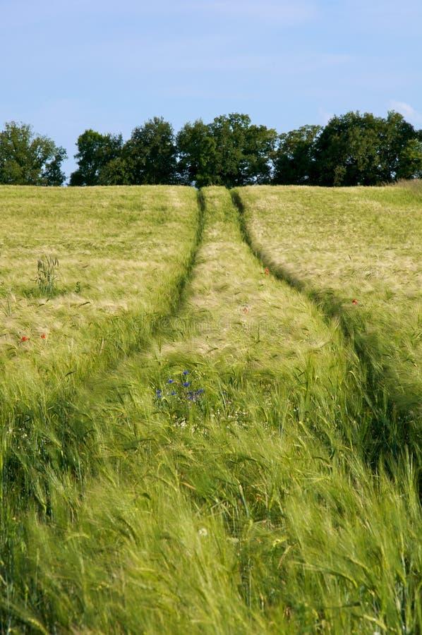 Campo de milho com trilhas do trator fotografia de stock royalty free
