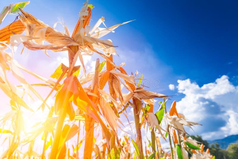 Campo de milho contra o céu azul no por do sol fotografia de stock