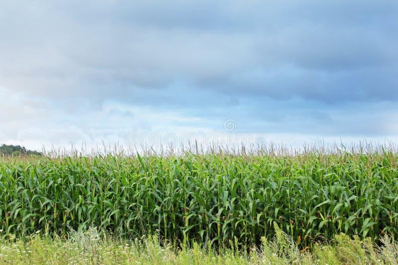 Campo de milho contra um c?u azul imagens de stock royalty free