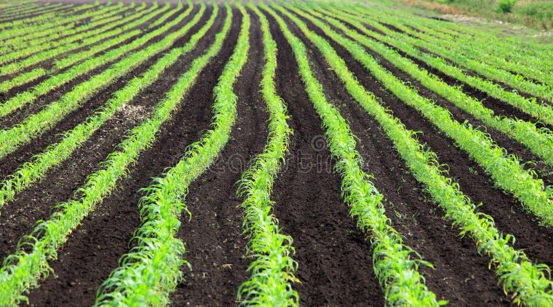 Campo de milho doce imagem de stock royalty free