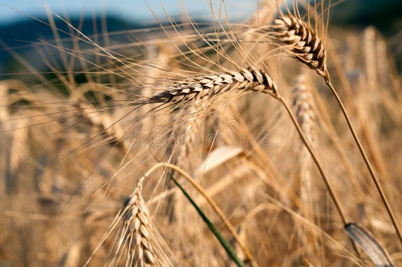 Campo de milho dourado em um dia ensolarado fotografia de stock