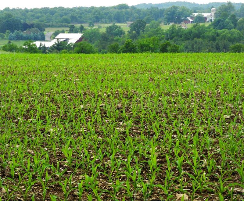 Campo de milho durante a estação de mola adiantada em New York fotos de stock royalty free