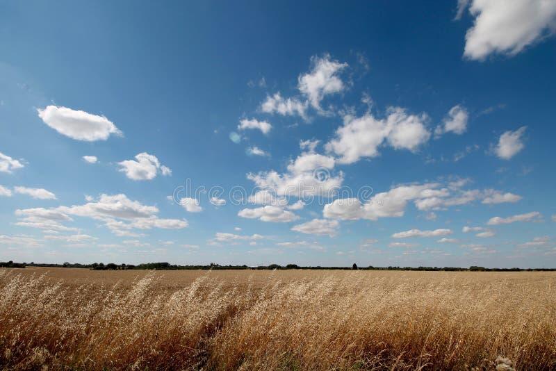 Campo de milho em Cambridge, Inglaterra imagens de stock