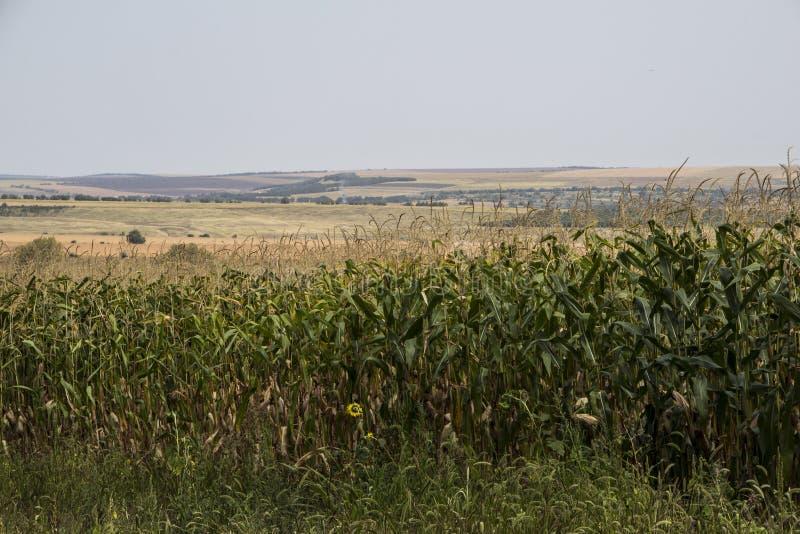 Campo de milho em um dia nebuloso moldova foto de stock