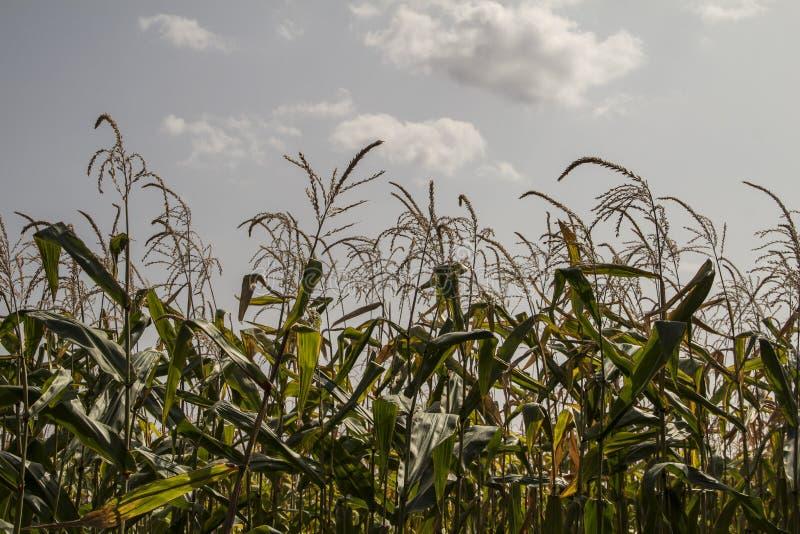 Campo de milho em um dia nebuloso moldova imagens de stock