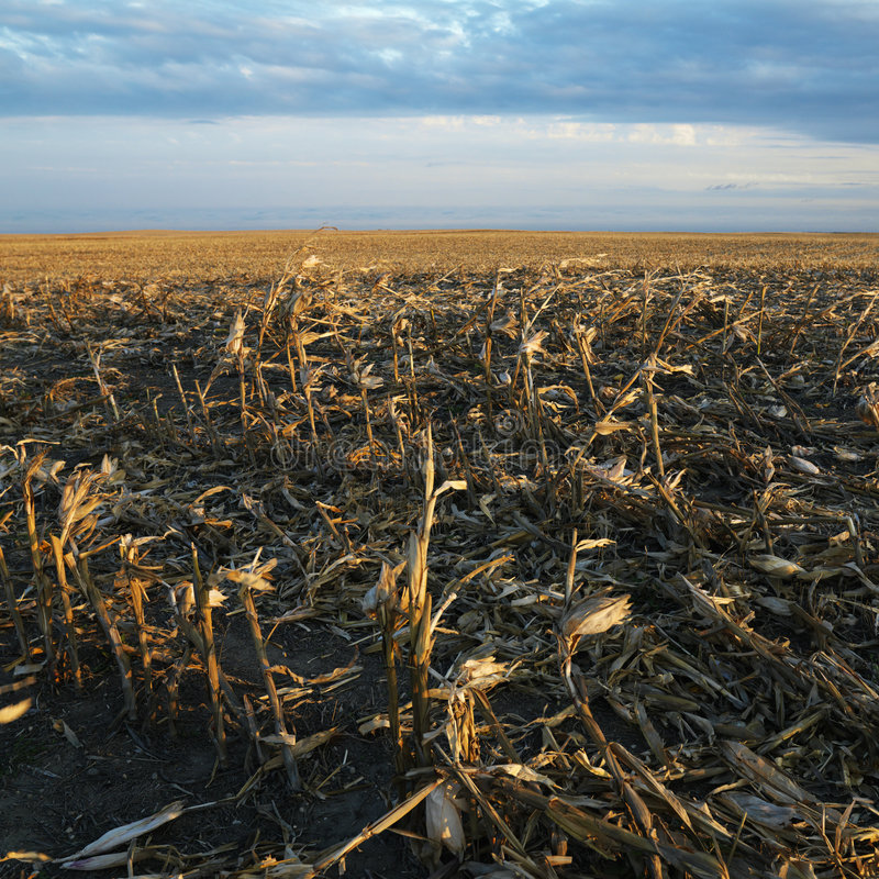 Campo de milho inoperante imagem de stock