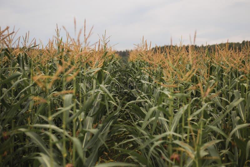 Campo de milho no campo Fotografia de cor horizontal imagens de stock