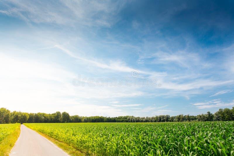 Campo de milho no nascer do sol imagens de stock