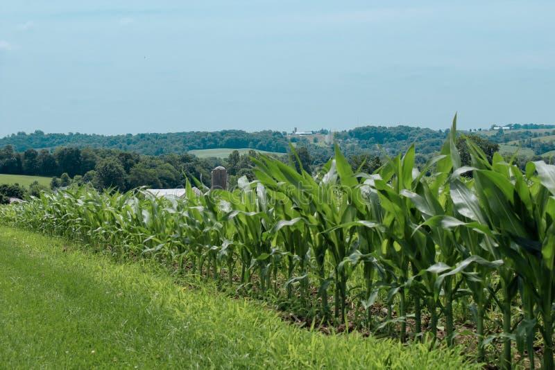 Campo de milho no país de amish fotos de stock royalty free