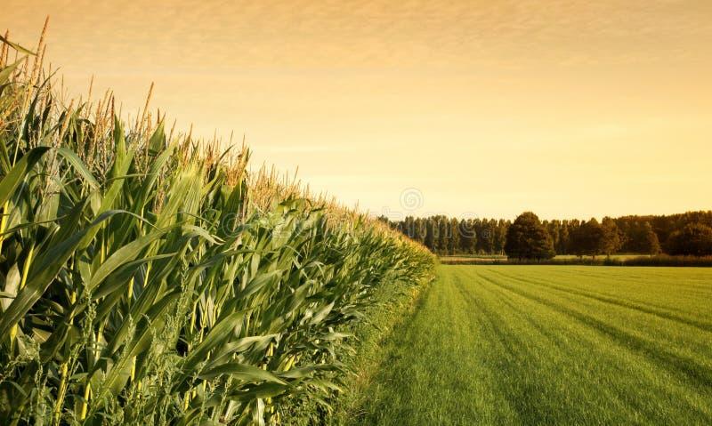 Campo de milho no por do sol imagem de stock royalty free