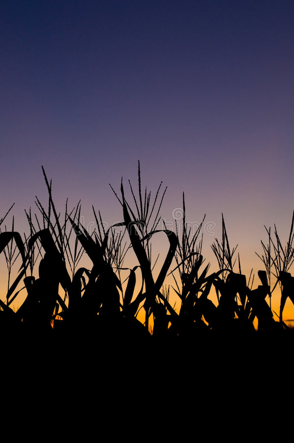 Campo de milho no por do sol imagens de stock royalty free