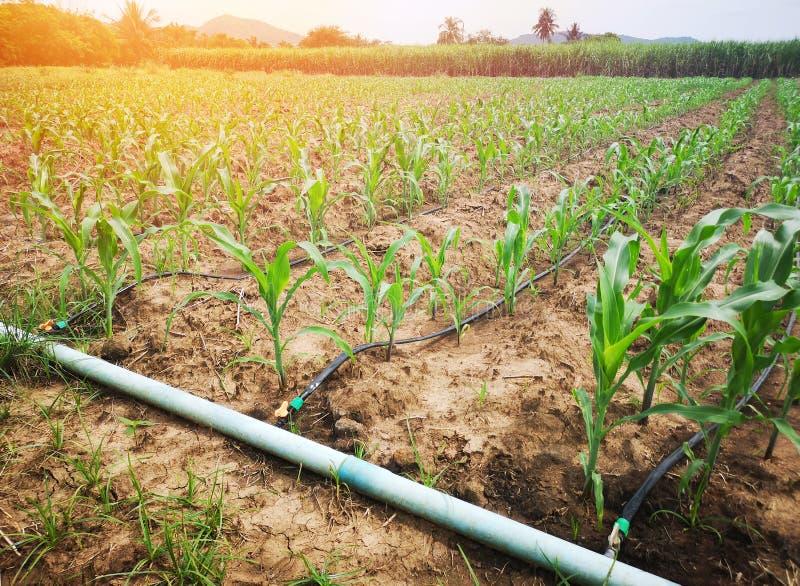 Campo de milho no campo que usa o sistema molhando do gotejamento é um recurso agrícola econômico fotografia de stock