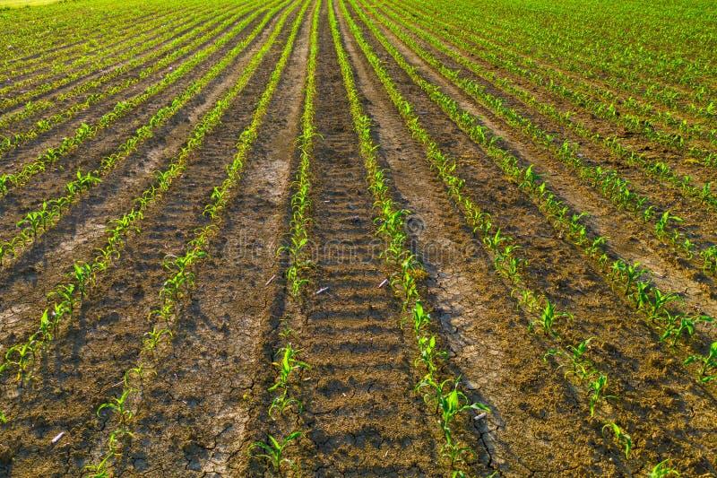 Campo de milho novo no nascer do sol, fileiras das plantas, agricultura e proteção de planta imagem de stock royalty free