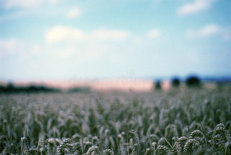 Campo de milho, Oxfordshire fotografia de stock