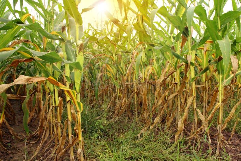 Campo de milho pronto para colher no nascer do sol da manh? imagem de stock