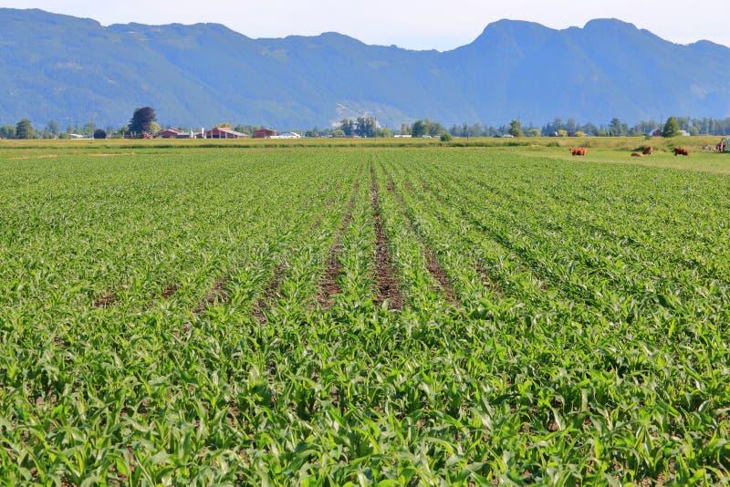 Campo de milho varrendo e pastagem do gado fotos de stock