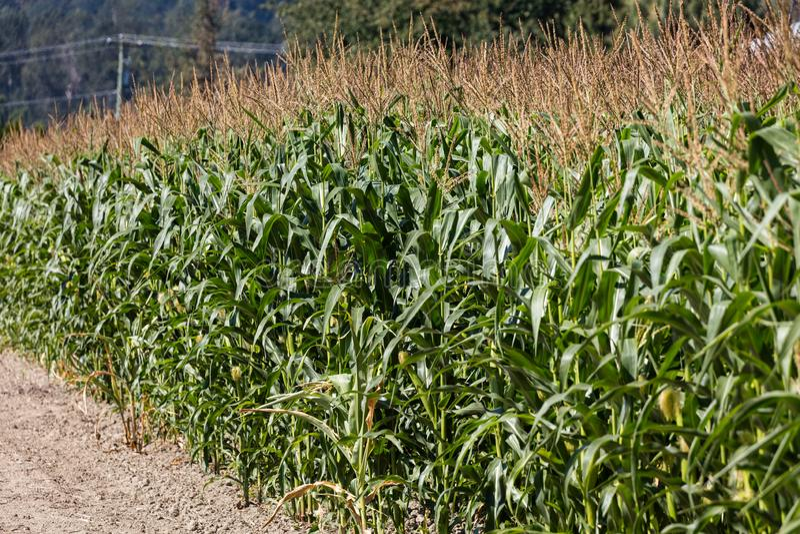 Campo de milho verde imagem de stock