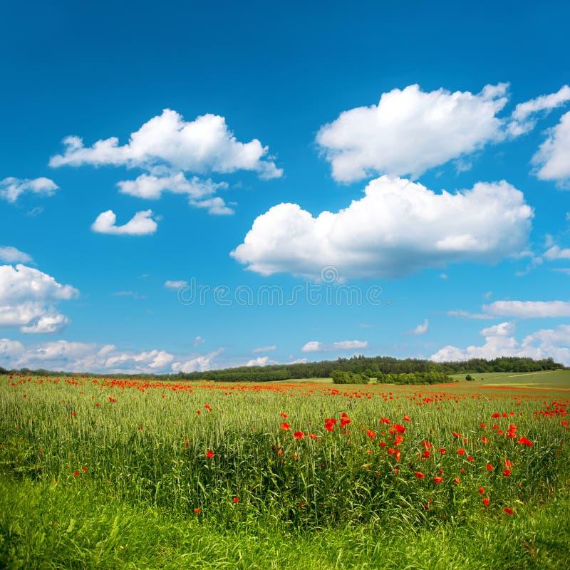 Campo de milho verde com flores da papoila e o céu azul fotografia de stock