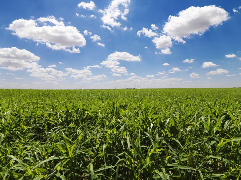 Campo de milho verde e céu azul fotografia de stock royalty free