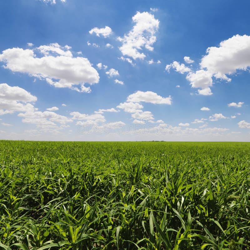 Campo de milho verde e céu azul fotos de stock royalty free