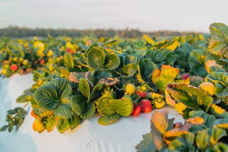 Campo de morango Condado de Santa Barbara, Califórnia imagem de stock