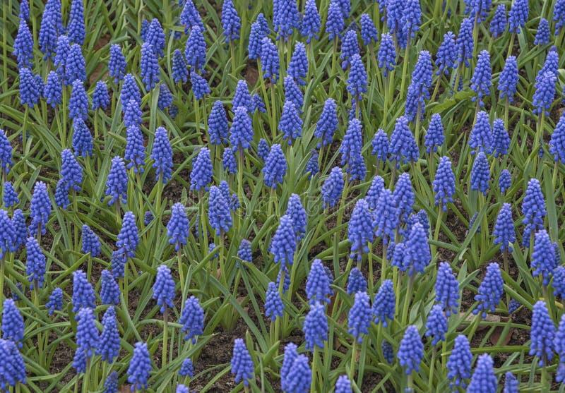 Campo de Muscari armeniacum azul nos Países Baixos, Keukenhof Culturas de flores Paisagem natural da primavera fotos de stock royalty free