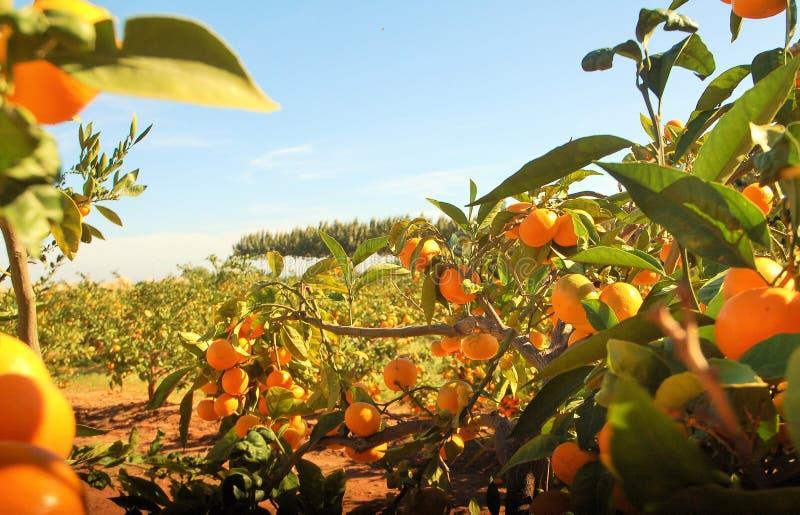 Campo de naranjas bajo el cielo azul y luz del sol imagen de archivo