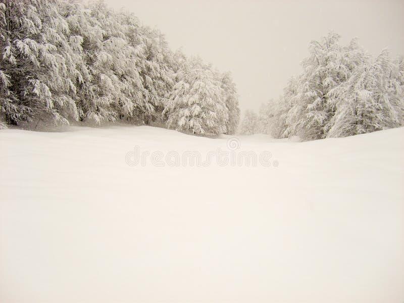 Campo de neve liso com pinheiros cobertos de neve fotos de stock