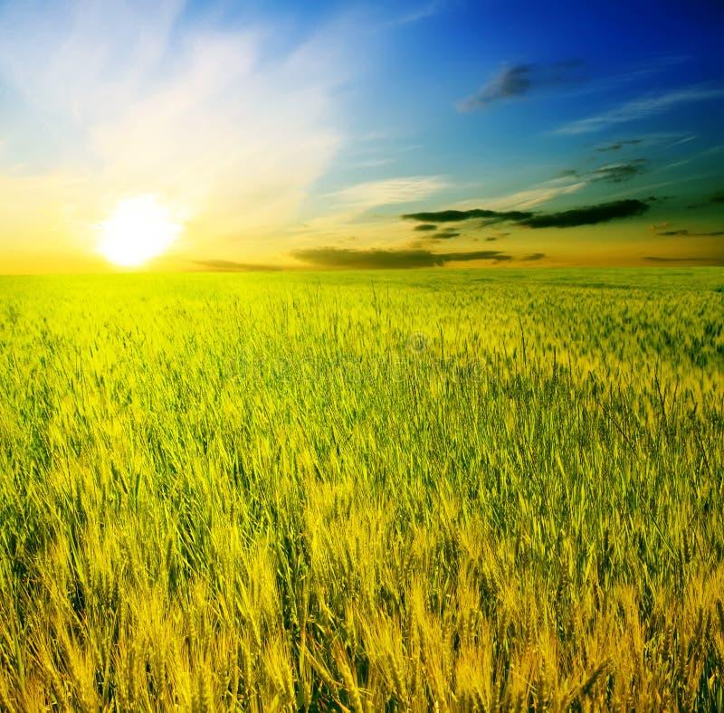 Campo de oídos en una puesta del sol hermosa del fondo imagen de archivo libre de regalías