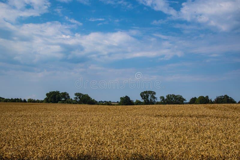 Campo De Orelhas De Trigo Amarelo No Céu Azul E Sunny Culturas Ricas De Trigo De Trigo De Colheita, Culturas Frescas De Trigo fotografia de stock