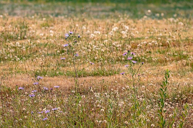 campo de oro de danelions secos detrás de asteres púrpuras animados foto de archivo