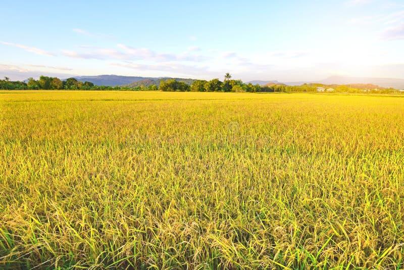 Campo de oro del arroz con el cielo azul fotos de archivo