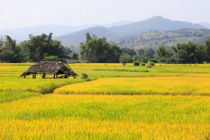 Campo de oro del arroz rodeado por la montaña imágenes de archivo libres de regalías