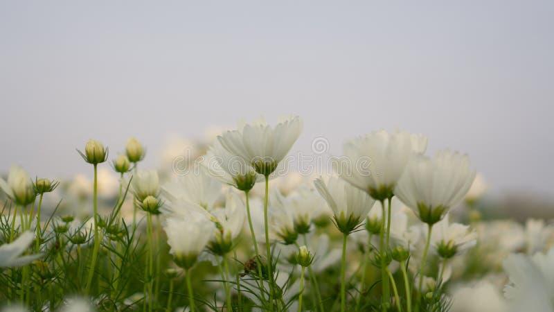 Campo de pétalos blancos bonitos de las flores del cosmos que florecen en las hojas verdes, bajo fondo del cielo azul fotos de archivo