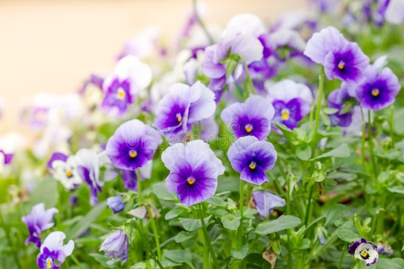 Campo de Pansy Flowers branca e roxa imagens de stock