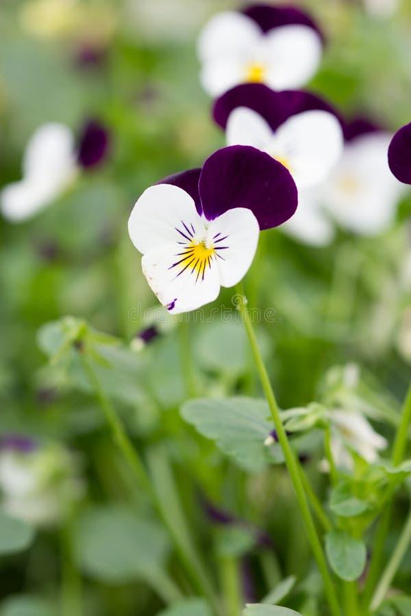 Campo de Pansy Flowers branca e roxa imagens de stock royalty free