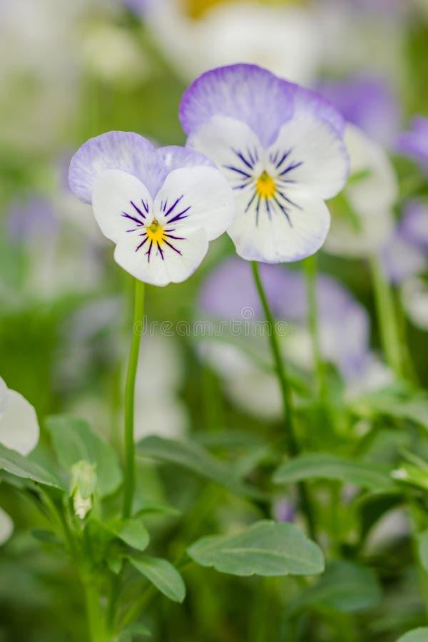 Campo de Pansy Flowers branca e roxa fotografia de stock