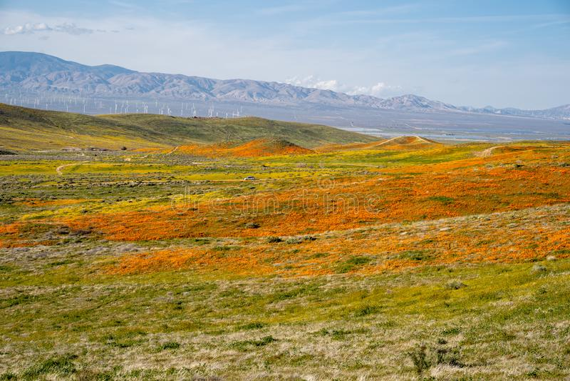 Campo de papoilas de Califórnia alaranjadas na flor completa entre a Rolling Hills verde de Lancaster Califórnia Turbinas dos moi fotos de stock royalty free