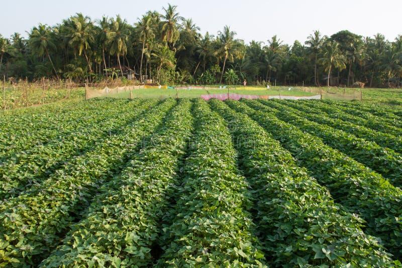 Campo de patatas dulces en el fondo de los árboles de coco imagen de archivo libre de regalías