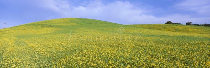 Campo de plantas amarelas da mostarda imagem de stock