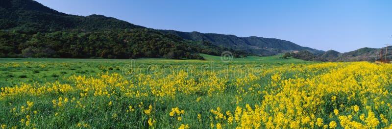 Campo de plantas amarelas da mostarda foto de stock