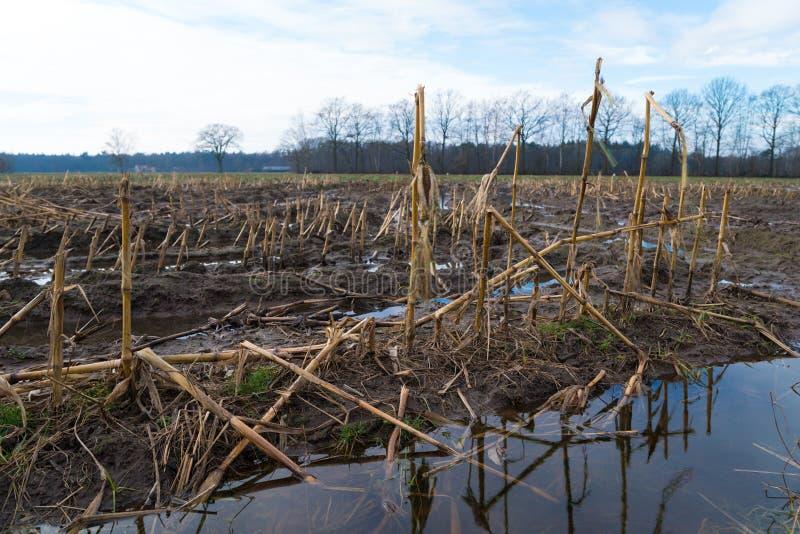 Campo de rastrojo inundado del maíz fotografía de archivo libre de regalías