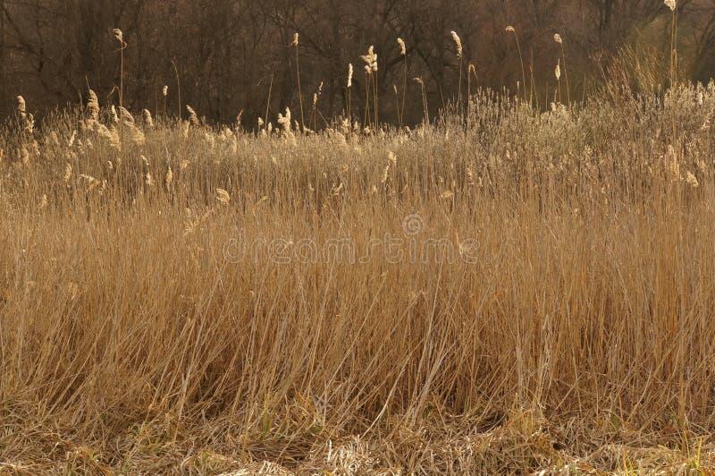 Campo de Reed imagen de archivo libre de regalías